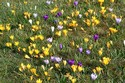 Image Ref: 12-32-6 - Crocuses, Viewed 7281 times