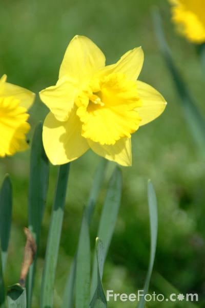Picture of Daffodils - Free Pictures - FreeFoto.com
