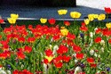 Image Ref: 12-35-10 - Tulips, Viewed 9619 times