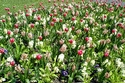 Image Ref: 12-35-14 - Tulips, Viewed 10153 times