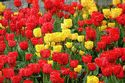 Image Ref: 12-35-5 - Tulips, Viewed 17241 times