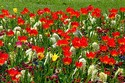 Image Ref: 12-35-9 - Tulips, Viewed 10226 times