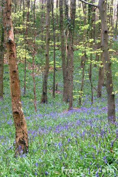 Picture of Bluebells - Free Pictures - FreeFoto.com