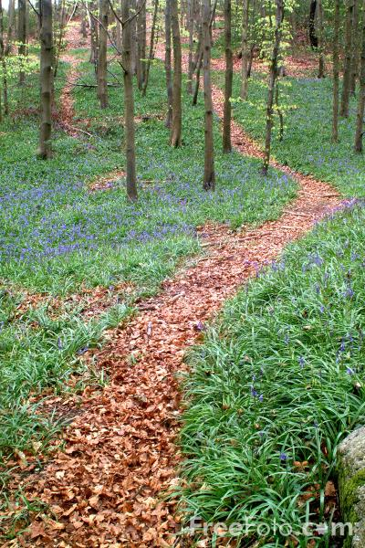 Picture of Footpath, Bluebell Woods - Free Pictures - FreeFoto.com