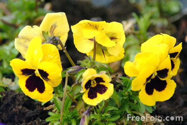 Picture of Pansies - Free Pictures - FreeFoto.com