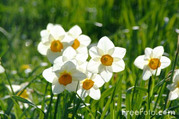 Picture of Narcissi - Free Pictures - FreeFoto.com