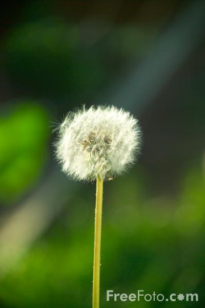 Picture of Dandelion - Free Pictures - FreeFoto.com