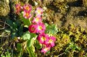 Image Ref: 12-41-5 - Wild Primula, Viewed 8315 times