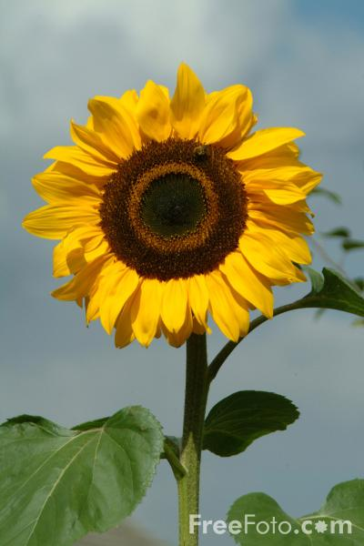 Picture of Sunflower - Free Pictures - FreeFoto.com