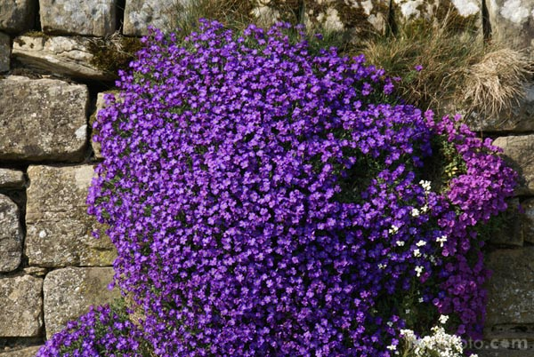 Aubretia pictures, free use image, 12-43-13 by FreeFoto.com