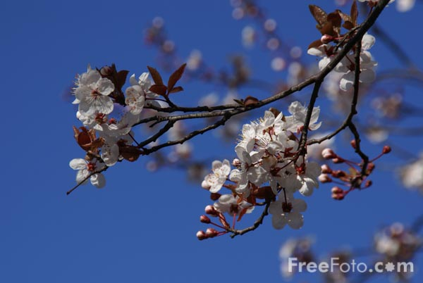 Picture of Blossom - Free Pictures - FreeFoto.com