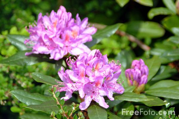 Picture of Rhododendron - Free Pictures - FreeFoto.com