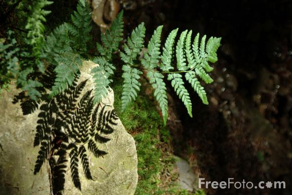 Picture of Fern - Free Pictures - FreeFoto.com