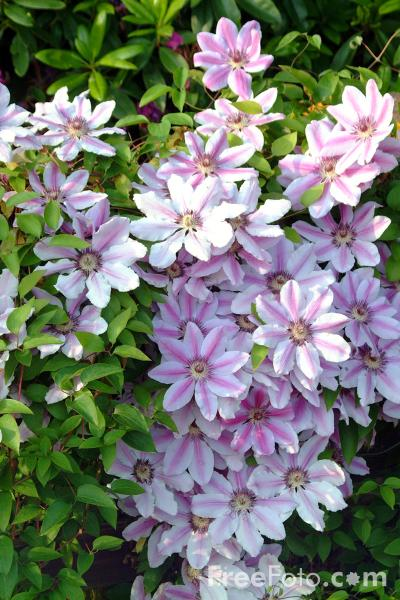 Picture of Clematis - Free Pictures - FreeFoto.com