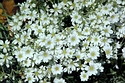 Image Ref: 12-53-1 - Cerastium - Snow in summer, Viewed 24851 times