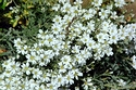 Image Ref: 12-53-2 - Cerastium - Snow in summer, Viewed 15132 times
