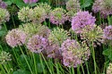 Image Ref: 12-55-1 - Allium, Viewed 14604 times