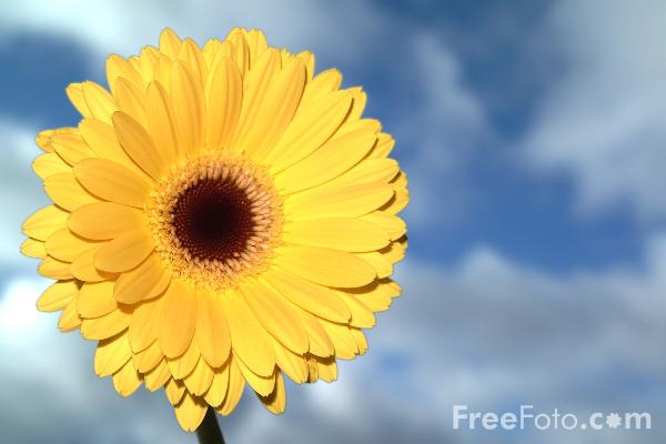 Picture of Gerbera - Free Pictures - FreeFoto.com