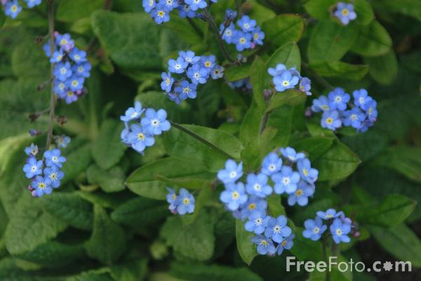 Picture of Forget me not - Free Pictures - FreeFoto.com