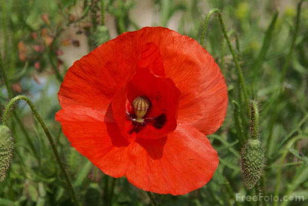 Picture of Poppy - Free Pictures - FreeFoto.com