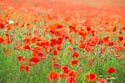 Field of Poppies has been viewed 7668 times