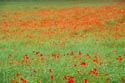 Image Ref: 12-71-3 - Field of Poppies, Viewed 6010 times