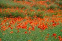 Image Ref: 12-71-4 - Field of Poppies, Viewed 10561 times