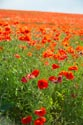 Image Ref: 12-71-51 - Field of Poppies, Viewed 5553 times