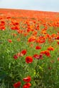 Image Ref: 12-71-52 - Field of Poppies, Viewed 4797 times