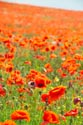 Image Ref: 12-71-53 - Field of Poppies, Viewed 5330 times