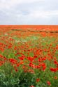 Image Ref: 12-71-55 - Field of Poppies, Viewed 4917 times
