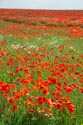 Image Ref: 12-71-56 - Field of Poppies, Viewed 4861 times