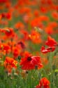 Image Ref: 12-71-59 - Field of Poppies, Viewed 5113 times