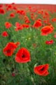 Image Ref: 12-71-60 - Field of Poppies, Viewed 7191 times