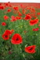 Image Ref: 12-71-61 - Field of Poppies, Viewed 7181 times
