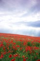 Image Ref: 12-71-62 - Field of Poppies, Viewed 7576 times