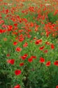 Image Ref: 12-71-63 - Field of Poppies, Viewed 4772 times