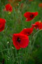 Image Ref: 12-71-65 - Field of Poppies, Viewed 6567 times