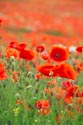 Image Ref: 12-71-67 - Field of Poppies, Viewed 4915 times