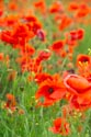 Image Ref: 12-71-68 - Field of Poppies, Viewed 4804 times
