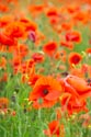 Image Ref: 12-71-69 - Field of Poppies, Viewed 4926 times