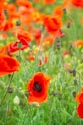 Image Ref: 12-71-71 - Field of Poppies, Viewed 4824 times
