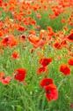 Image Ref: 12-71-73 - Field of Poppies, Viewed 4518 times