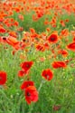 Image Ref: 12-71-74 - Field of Poppies, Viewed 4368 times