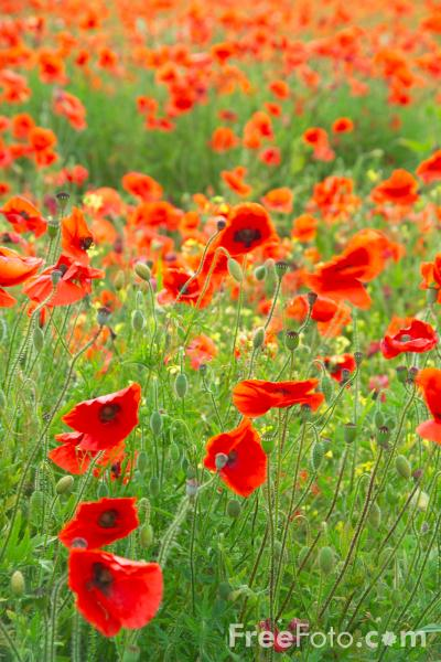 Picture of Field of Poppies - Free Pictures - FreeFoto.com