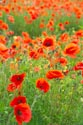 Image Ref: 12-71-78 - Field of Poppies, Viewed 5033 times