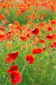 Image Ref: 12-71-79 - Field of Poppies, Viewed 5828 times