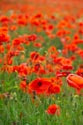 Image Ref: 12-71-80 - Field of Poppies, Viewed 4763 times