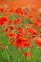 Image Ref: 12-71-81 - Field of Poppies, Viewed 5250 times