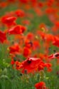 Image Ref: 12-71-85 - Field of Poppies, Viewed 5121 times